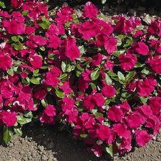 Cora Burgundy Vinca - Annual Flower