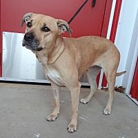 Angola, Indiana - Black Mouth Cur. Meet Tayler, a for adoption. https://www.adoptapet.com/pet/20696087-angola-indiana-black-mouth-cur-mix