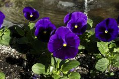 Purple Pansey by cbbxj69675, via Flickr