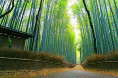 The Arashiyama Bamboo Grove in Kyoto, Japan