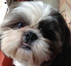 """Shitzu love!!!  haha, my shih-tzu does the same thing and i call it, """"The Elvis Face,"""" lmao ;-)"""