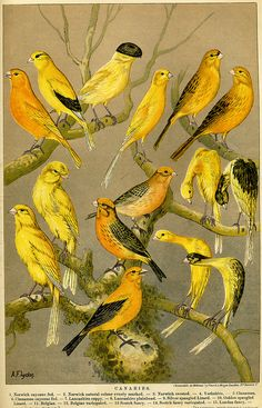 Canaries - colour plate from the Boy's Own Paper, 1891