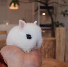 dwarf bunnies / dwarf bunnies & dwarf bunnies care & dwarf bunnies for sale & dwarf bunnies full grown & dwarf bunnies lop Cute Baby Bunnies, Cute Baby Animals, Cute Cats, Cute Babies, Dwarf Bunnies For Sale, Netherland Dwarf Bunny, Teacup Cats, Dwarf Rabbit, Rabbit Breeds