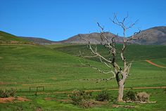 A dead tree in the Overberg in South Africa