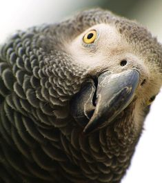 African Gray Parrot   Gray parrot breeding session   Parrot for SaleCutagulta   All About Pets