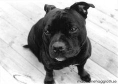 Staffordshire bullterrier - Troja #Photo #Dog