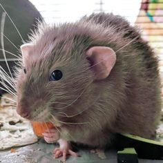 Lu eats carrots with one hand. You rebel you get on with your bad self. #aww #cute #rat #cuterats #ratsofpinterest #cuddle #fluffy #animals #pets #bestfriend #ittssofluffy #boopthesnoot