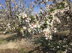 Independence almond trees are easy to harvest, and they make tasty almonds. But what really sets them apart is the fact that they're self-fertile — meaning they technically don't need bees to pollinate their flowers because they're pollinating themselves (though some farmers say if you use just a few bees, you'll get an even bigger crop.) That's a boon for farmers, who spend lots of money hiring bees to pollinate their crop.