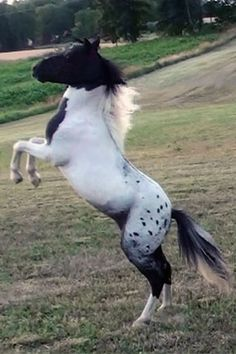 pintaloosa - the combination of Appaloosa and Pinto spotting patterns on the same horse. This combination is rare, but does occur from time to time.