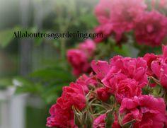 F.J. Grootendorst rose