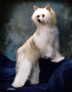 powderpuff Chinese Crested ...........click here to find out more http://googydog.com