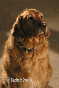 """Shelby the Golden Retriever returns to """"Smallville"""" in Instinct! Lex Luthor, Smallville, Superman, Dogs And Puppies, Animals, Tv, Animales, Animaux, Television Set"""