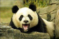 Pandas are very interesting animals and these facts about pandas will fascinate you. We made a list of top 10 most interesting facts about pandas.