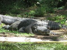 i am gonna touch and be all up on one of these bad asses! Alligators, Crocodiles, Swamp Thing, Florida Living, Strange Things, Nature Pictures, Reptiles, South Carolina, Charleston