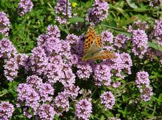 Levender with butterfly Home Remedies, Tea, Health, Garden, Nature, Butterfly, Plants, Garten, Health Care