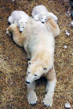 Newborn polar bear cubs, Zoo Brno