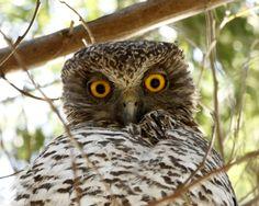 powerful-owl2.jpg (2382×1902)