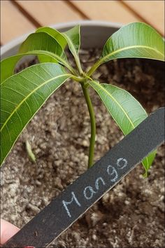 [Garten DIY // Pflanzen selber ziehen] Mango pull made easy with simple step by step instructions - Trickkiste - Container Flowers, Container Plants, Container Gardening, Avocado Dessert, Balcony Plants, Garden Plants, Organic Farming, Organic Gardening, Avocado Toast