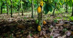 The environmental NGO Mighty Earth has just put online an interactive map that alerts on the progress of cocoa plantations in Ivory Coast. In this West African country, the cocoa industry is responsible for of deforestation. West African Countries, Land Use, Interactive Map, Rest Of The World, Natural Resources, Ivory Coast, Southeast Asia, Cocoa, Planets