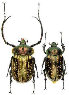 Cheirotonus peracanus - Coleoptera-Atlas.com