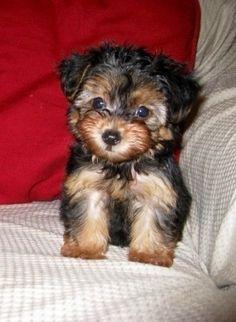 Everyone needs a Yorkie-Poo like my Obi! Looks like my Bentley Yorkie Poo Puppies, Yorkie Poodle, Poodle Mix Dogs, Cute Puppies, Cute Dogs, Dogs And Puppies, Doggies, Teacup Yorkie, Poodles