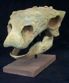 Gastonia burgei  / Ankylosaur Skull. Early Cretaceous, 125 MYA, Cedar Mountain Formation of Eastern Utah Adult Skeleton: Measurements: 10 inches long. Specimen: College of Eastern Utah Prehistoric Museum Quarry: Gaston Quarry,