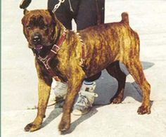 Cane Corso pedigree database - - CZAR'S LUCCA BRAZZI -- detailed information (Italia)