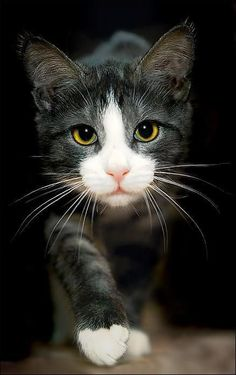 Beautiful Cats And Dogs Wallpapers Beautiful Kitty Cats Pretty Cats, Beautiful Cats, Animals Beautiful, Cute Animals, Pretty Kitty, Funny Animals, Baby Animals, Gorgeous Eyes, Beautiful Images