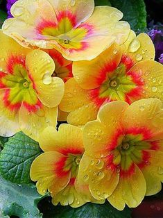 flowers potted flower seeds Four Seasons primrose Primula flowers seed Seed Exotic Flowers, Amazing Flowers, Yellow Flowers, Colorful Flowers, Spring Flowers, Beautiful Flowers, Blooming Flowers, Primroses, Flower Photos
