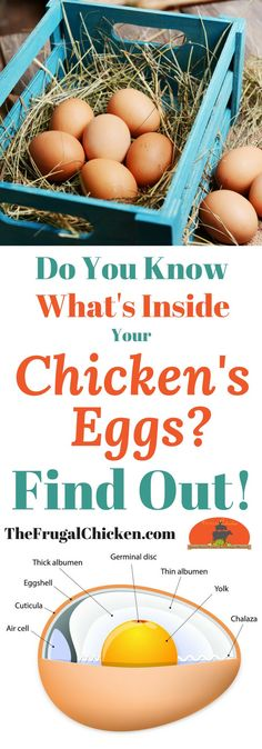 """Curious about why there's """"strings"""" inside your chicken eggs or what egg whites REALLY are? Here's what you need to know!"""
