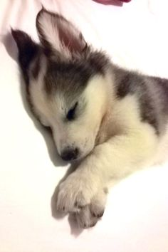 photo:awwww-cute: Reddit, meet Gizmo my baby malamute