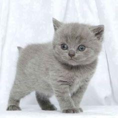 10 Immagini Fantastiche Di Gatto Certosino Chartreux Cat Grey