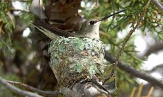 GrrlScientist: Hummingbird eggs and babies are a favourite snack for nest-robbing jays, so what's a mother hummingbird to do to protect her family? According to a study published recently, the hummingbird builds her nest near or under a hawk nest because jays stay away to avoid being eaten by the hungry hawks