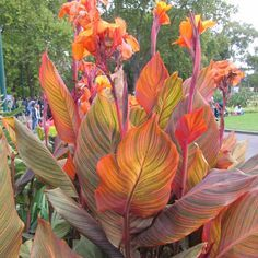 "Canna Lily ""B. Marley"" live plant Cannaceae"