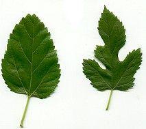 morus alba leaf
