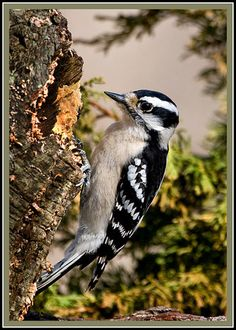Female Downy Woodpecker Photo by: KurtPreston
