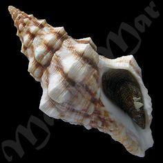MaraMar, Shells, Crabs, Live Rocks, Sea Food