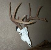 Peek Products: Trophyhanger mount for deer, bobcat, javelina, coyote, hog, antelope, mountain lion, bear, bovine cow, cape buffalo, bison and other exotics