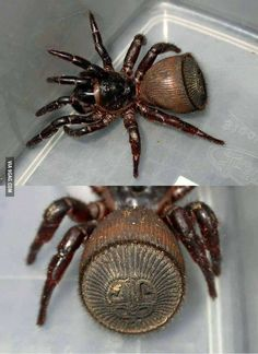 This is the cyclosmis (or trapdoor spider), and its incredible abdomen looks like an ancient coin! I'll call it the nope spider!