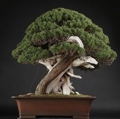 Sinpaku Bonsai Age: about 600 yrs, Height: 88 cm 真柏 樹齢約600年 幅100cm×高88cm