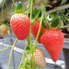名古屋近郊旬のイチゴ狩りが楽しめるおすすめの農園5選