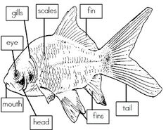 labelled diagram of a tilapia fish 2005 pt cruiser radio wiring basic fins labeled lesson pinterest mrs is class label the parts freebie