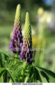 Stock Photo of lupinus, lupines, lupine k9842493 - Search Stock Images, Poster Photographs, Pictures, and Clip Art Photos - k9842493.jpg