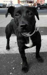 Nicky is an adoptable Patterdale Terrier (Fell Terrier) Dog in Ozone Park, NY. Yes I do want this sweet little girl!!!!!!!!!