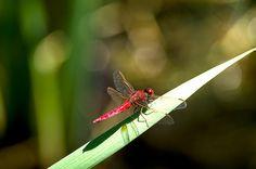 #macro #libellula #dragonfly #carlaorata #insetto #natura #fotografia