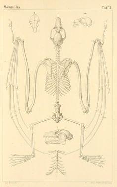"nemfrog: ""Plate VII. Pteropus species. Fruit bat. Saugethiere : Mammalia. 1874. """