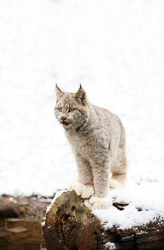 Canadian Lynx On Fallen Log | byRichard Wear