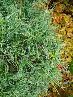 Pinus strobus 'Tiny Curl', un curieux pin frisé http://www.pariscotejardin.fr/2016/10/pinus-strobus-tiny-curl-un-curieux-pin-frise/
