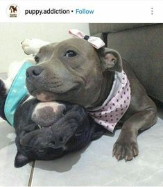 Dis, dis is my bruddah. He don't like hugs but bruddah gets em anyways. Beautiful Dogs, Animals Beautiful, Animals And Pets, Baby Animals, American Staffordshire Terrier, Cute Puppies, Cute Dogs, Cute Pitbulls, Best Dog Toys