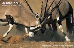 Male gemsbok, O. g. gazella, fighting - View amazing Gemsbok photos - Oryx gazella - on ARKive